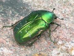 Grön guldbagge
