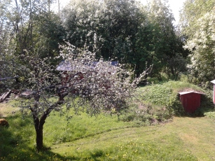 Apple blossom time , 2014-05-22