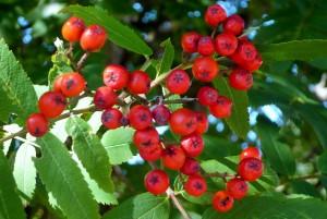rönnbär (2)